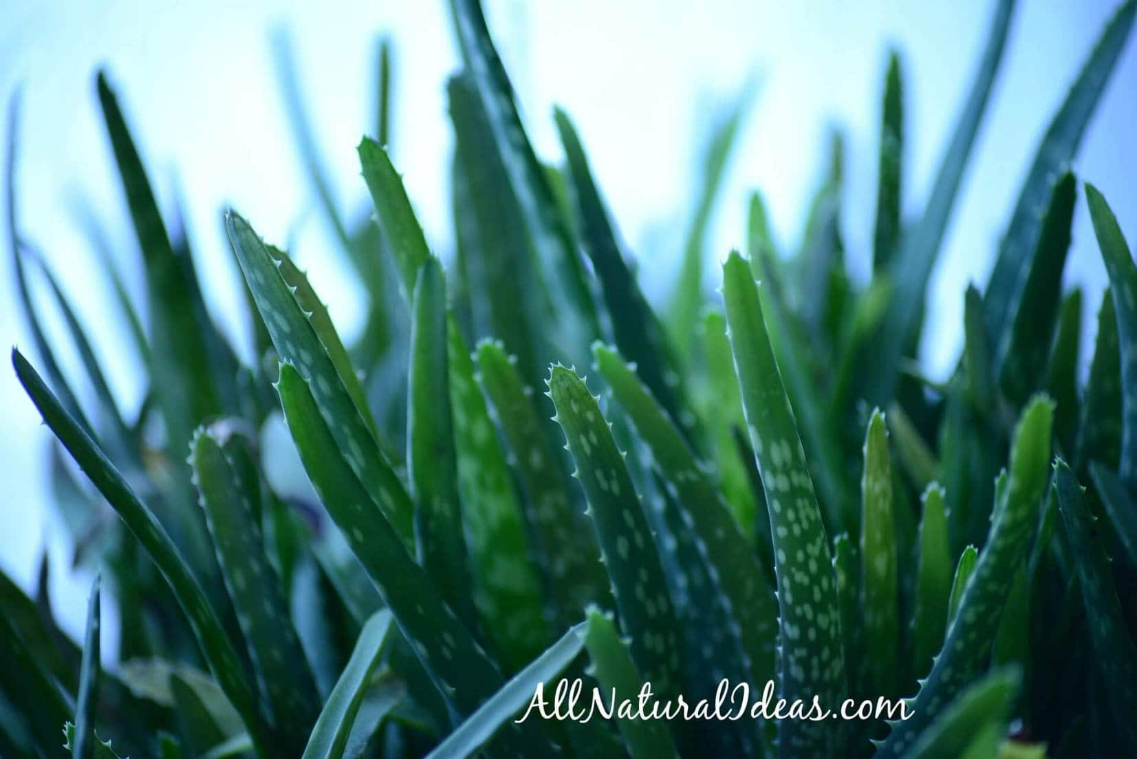 Aloe vera internal use benefits