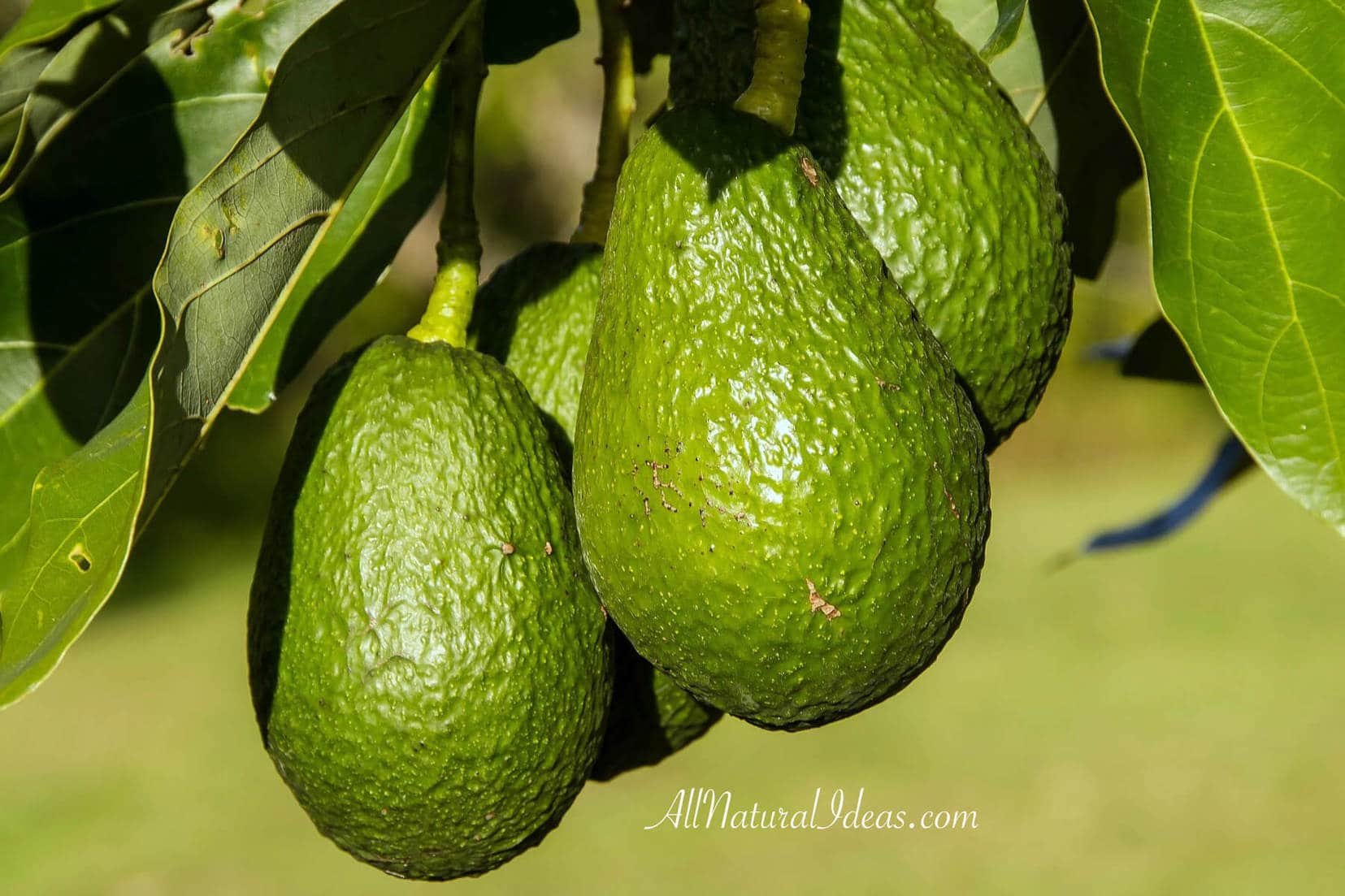 Avocados have many health benefits which makes them a perfect food to consume regularly. Check out some of the top reasons to eat avocados.