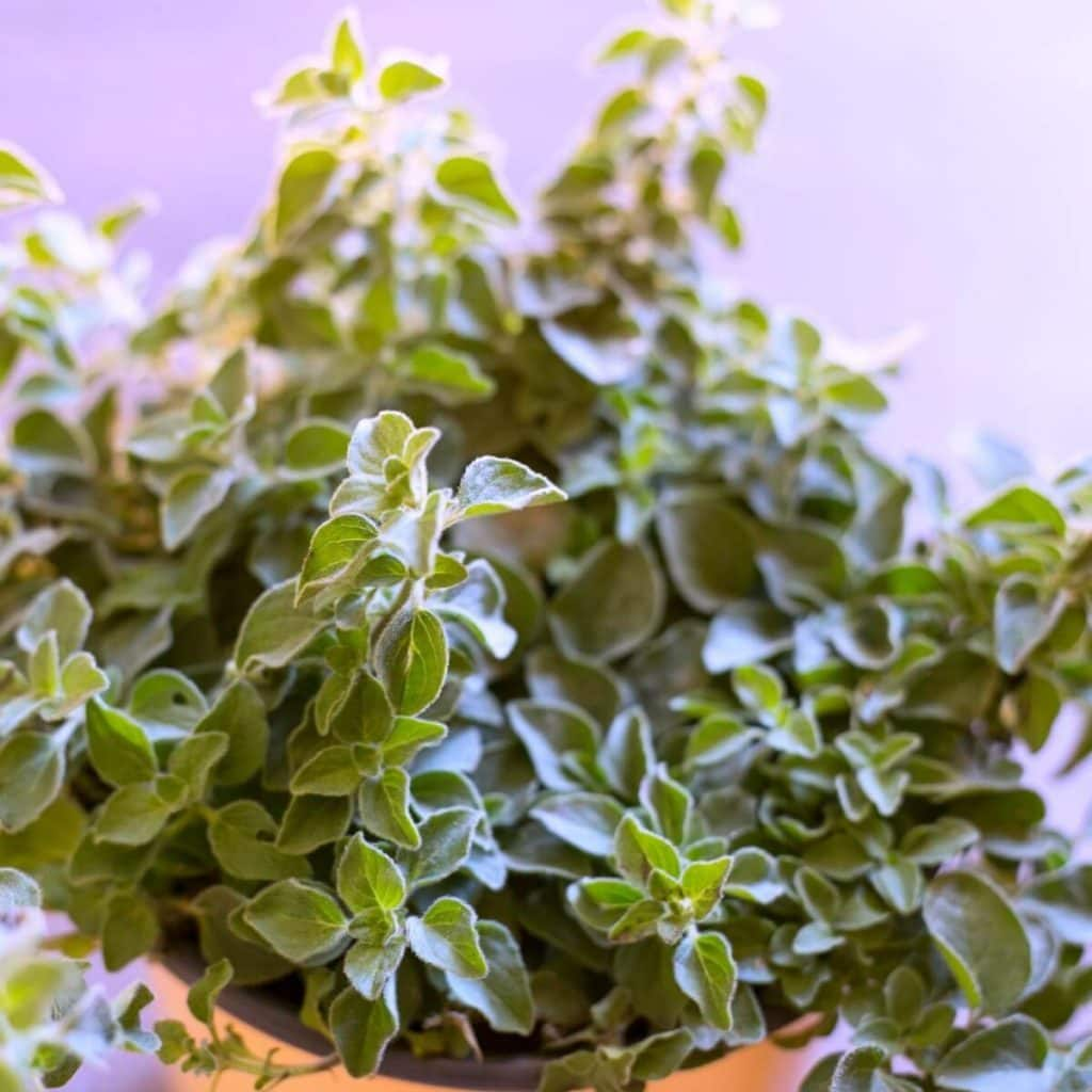 There are many beneficial oregano essential oil uses. People have been using taking advantage of oregano health benefits for thousands of years.