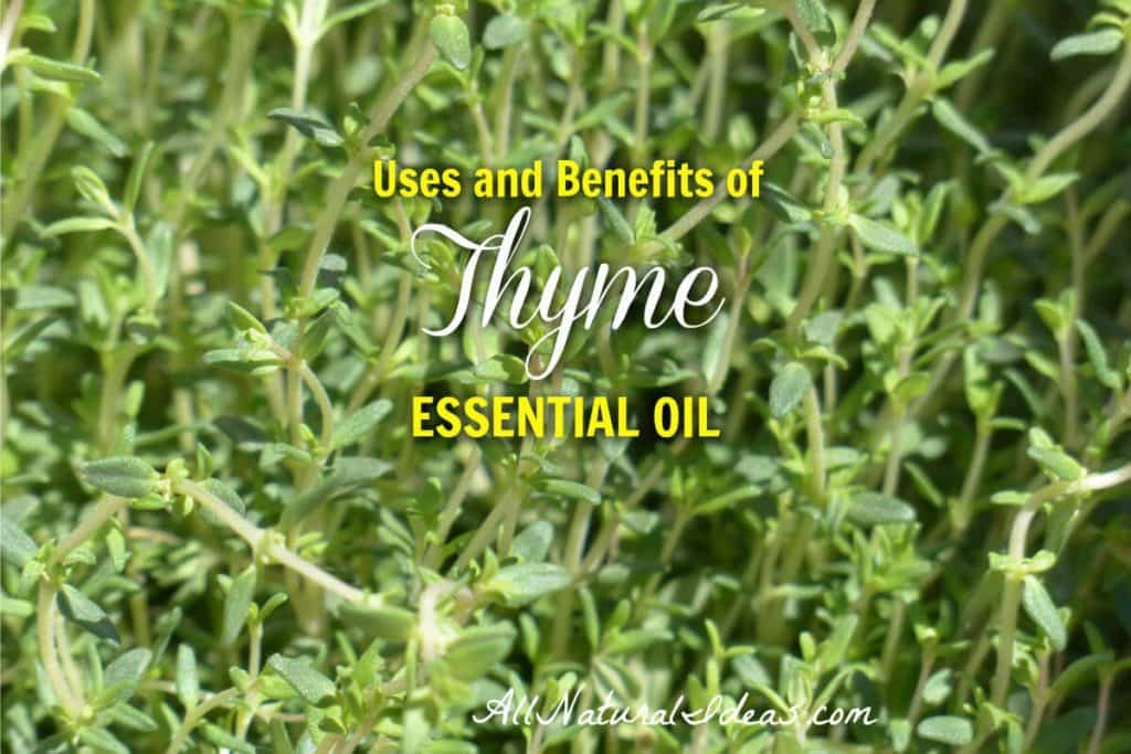Thyme has been used as a medicinal herb for centuries. What are the thyme essential oil uses and benefits? Are the health benefits clinically proven? | allnaturalideas.com