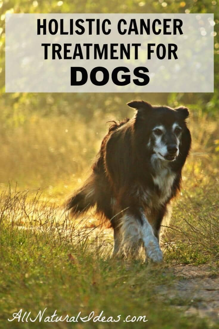 It's often just as traumatic to learn that a canine companion has cancer. Thankfully, there are holistic cancer treatments for dogs that may prolong life. | allnaturalideas.com