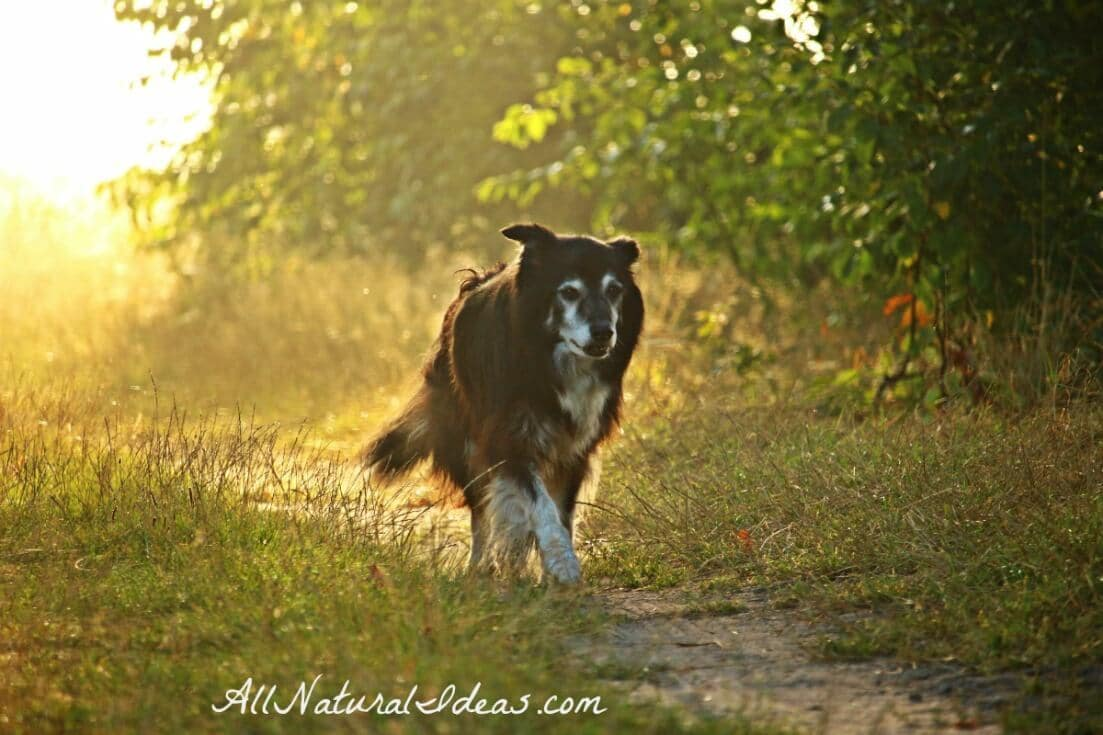 Holistic cancer treatment for dogs