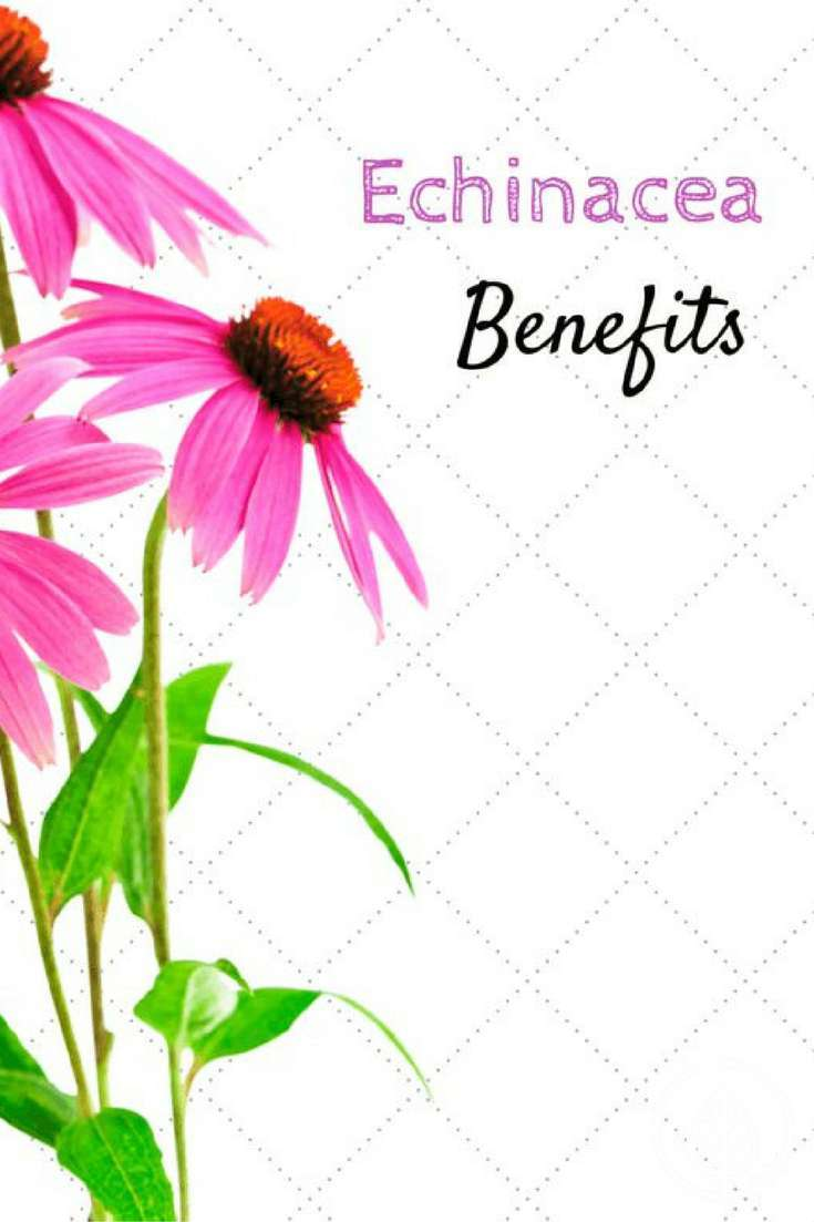 Echinacea for colds