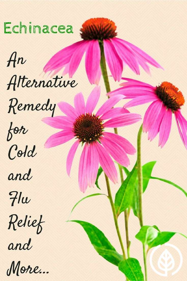 Echinacea Helps Fight Colds