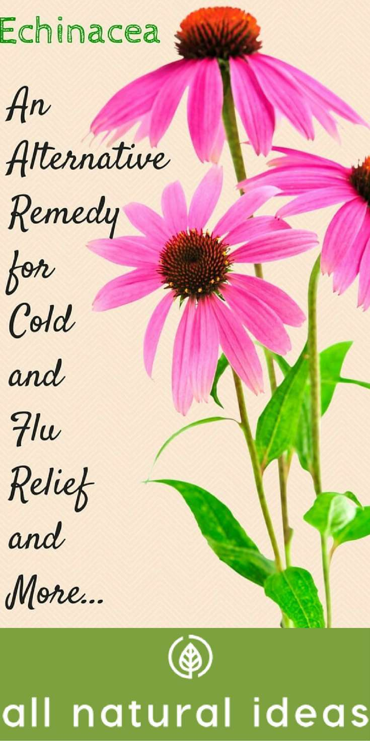 #Echinacea may provide#coldandflu relief by boosting the immune system response. But, what's the best #echinaceasupplement for these benefits? | allnaturalideas.com