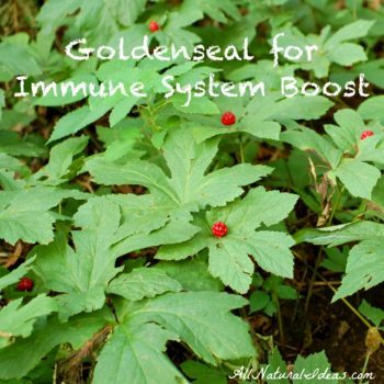 Goldenseal Root an Alternative Antibiotic