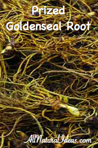 Health Benefits of Goldenseal Root Supplement include antibiotic and anti-inflammatory properties as well as a natural immune system booster!