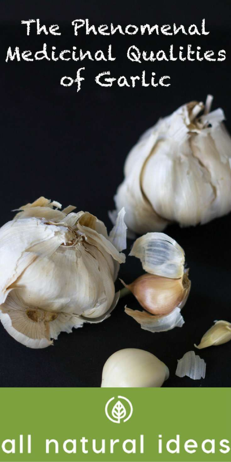 Learn the medicinal and health benefits of garlic, a natural antibiotic, anti-viral, and anti-fungal. Garlic in food can help you live a long, healthy life. | allnaturalideas.com