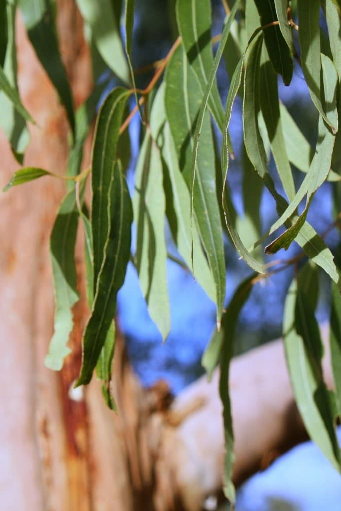 Eucalyptus essential oil uses