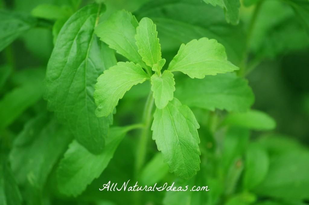 Natural Lyme Disease treatment using stevia