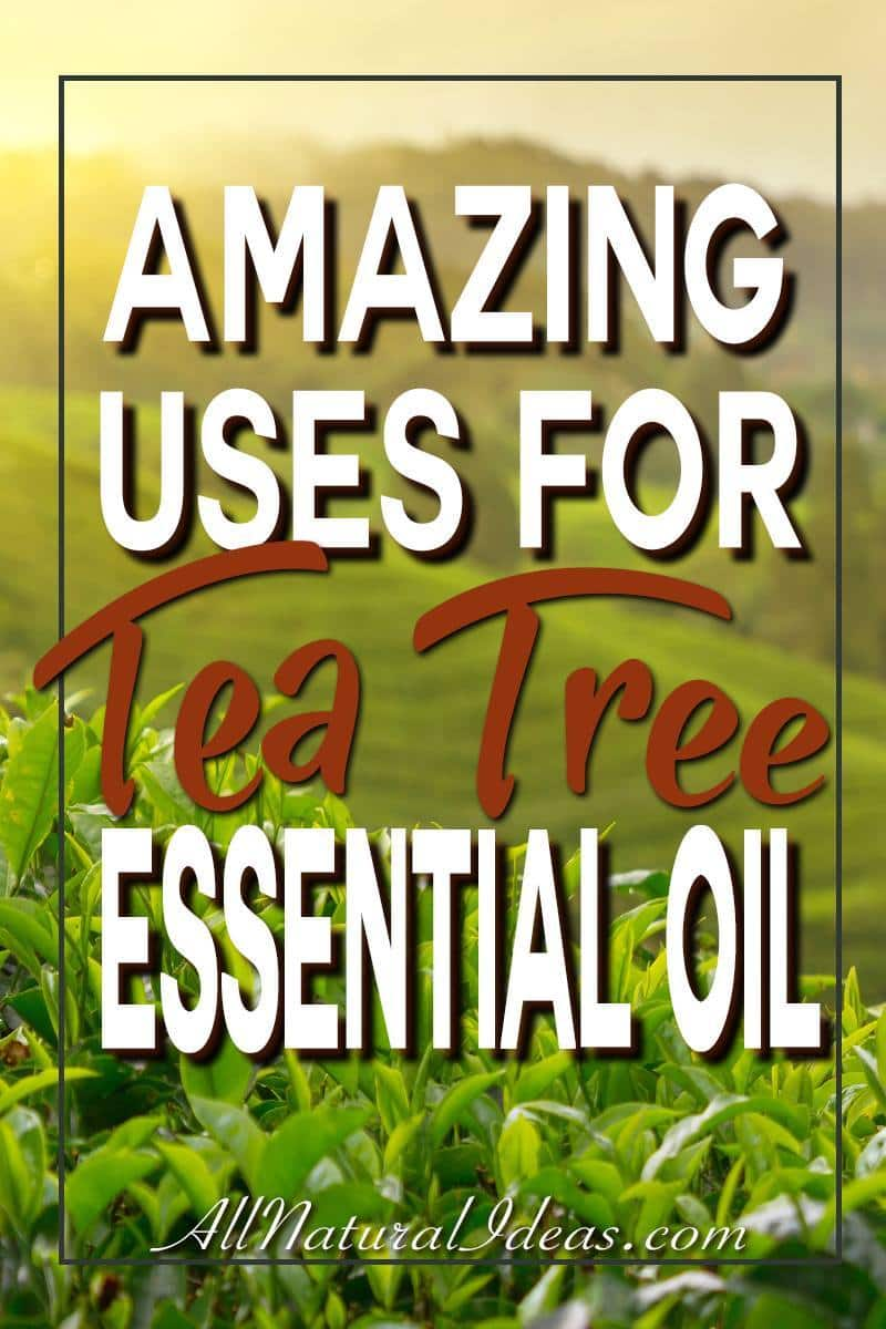Tea tree essential oil has benefits that make it a popular ingredient in health and beauty products. Let's look at some of the tea tree essential oil uses. | allnaturalideas.com