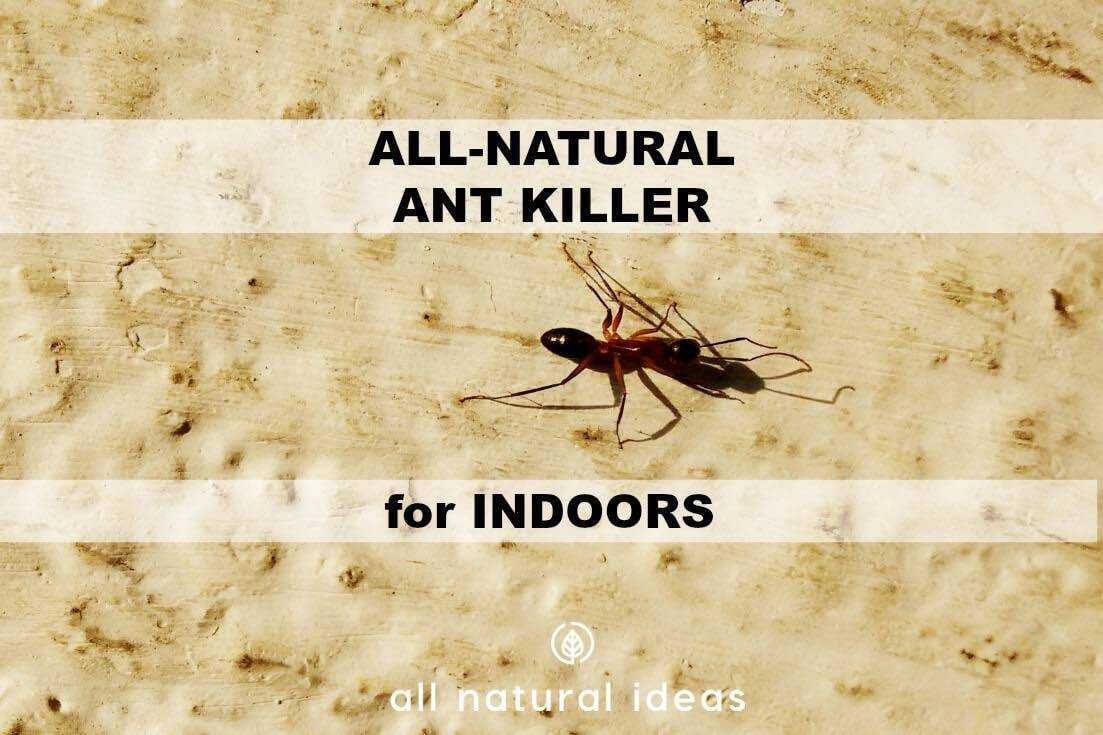 All natural ant killer indoors featured