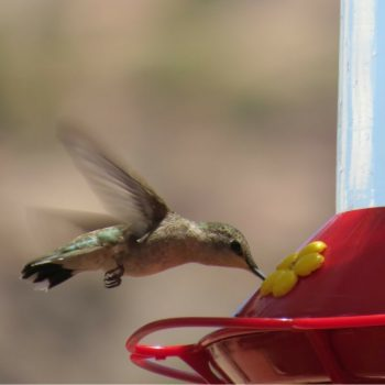 Simple Hummingbird Food Recipe & Tips for Attracting More Birds