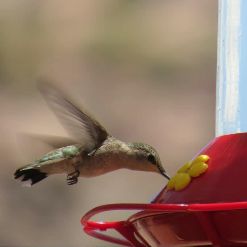 Hummingbird Food Recipe Tips For Attracting The Birds All
