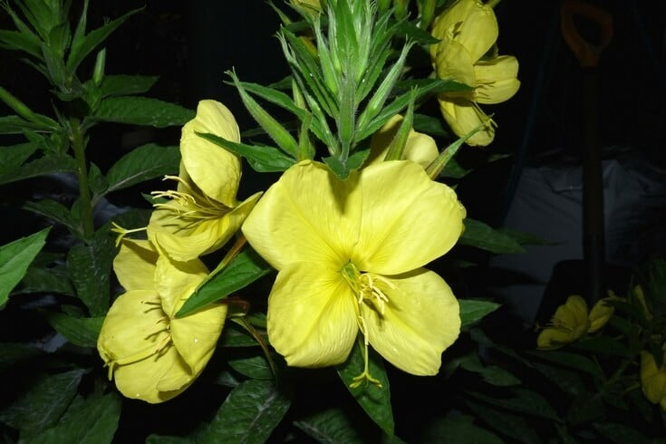Evening primrose - one of the best essential oils for eczema