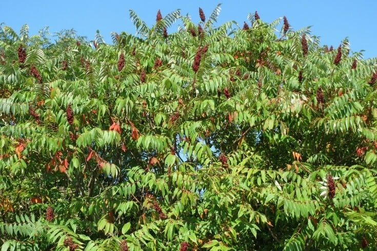 Reasons to consume staghorn sumac tea