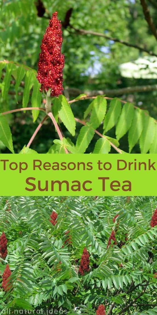 Staghorn sumac tea has been used for thousands of years. Research studies confirm the tea is useful for treatment of ailments like diabetes. | allnaturalideas.com