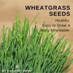 Wheatgrass seeds can easily sprout and turn into wheatgrass shots. Learning how to grow your own is easy and will save you lots of money.