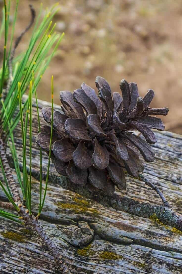 Pine bark extract benefits
