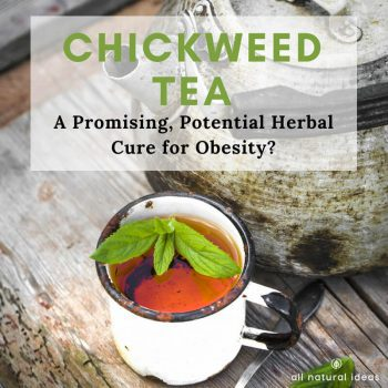 Chickweed Tea: A Potential Herbal Cure For Obesity?