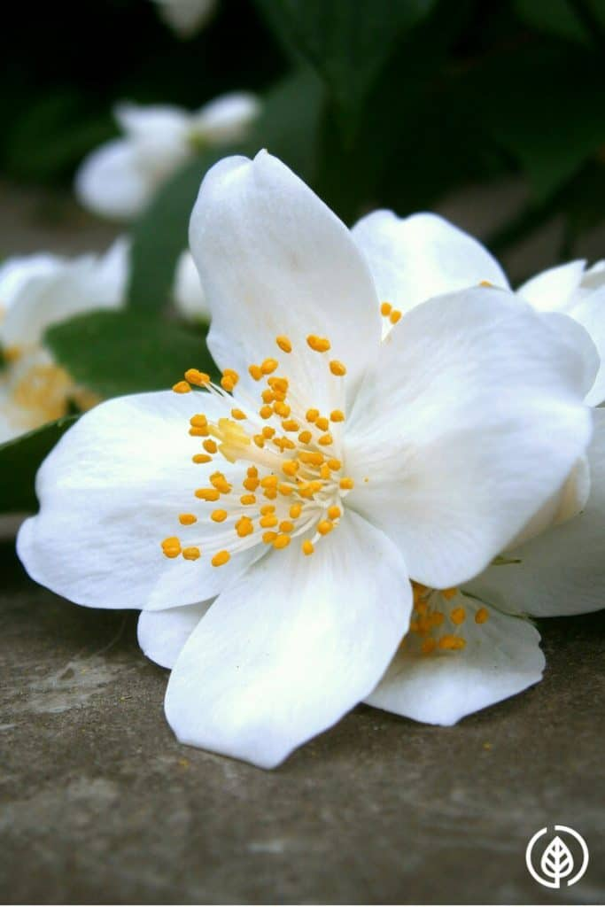 Jasmine essential oil has a euphoria-inducing quality. It calms the nerves, improves breathing, alleviates depression and nervous anxiety. There are other benefits and uses of it as well. If you're into natural plant oil remedies, you'll want to have some handy.