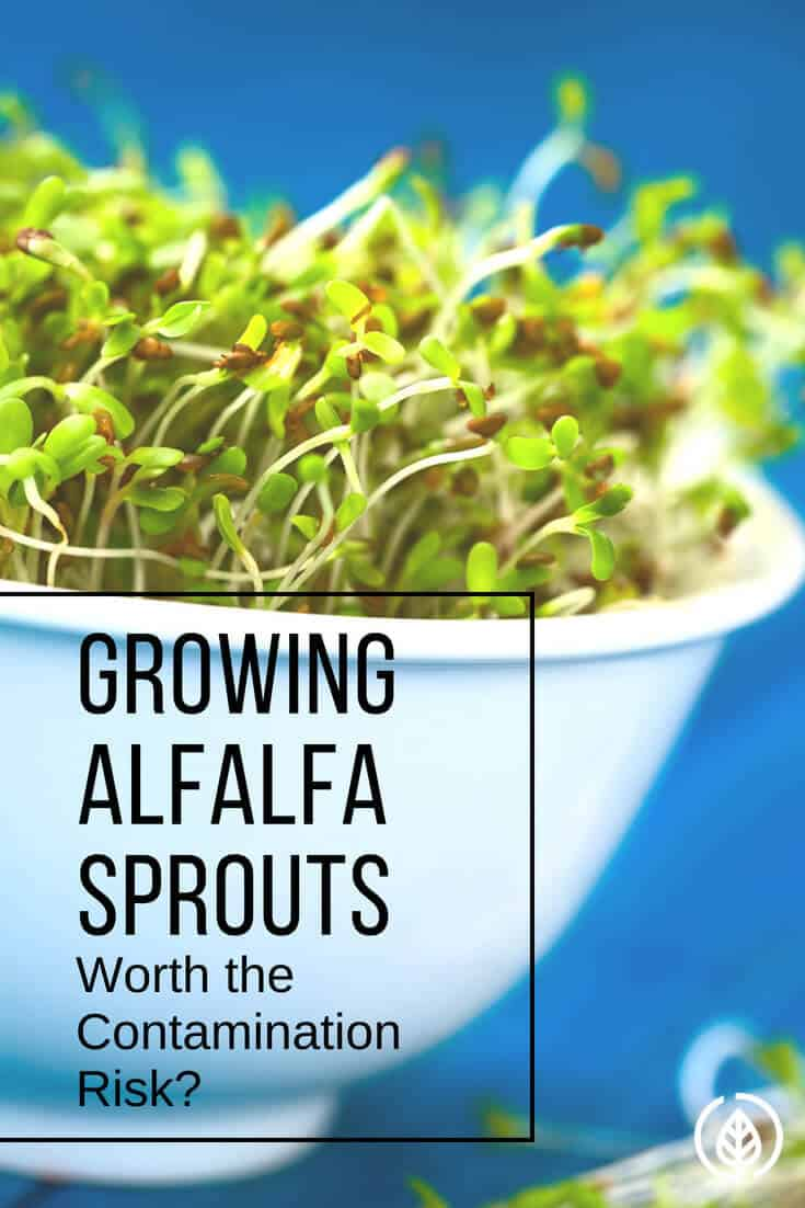 Arguably considered the healthiest topping to put on a sandwich, sprouts are loaded with nutrition. But with several reports of contamination, is growing alfalfa sprouts worth the risk?