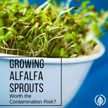 Arguably considered the healthiest topping to put on a sandwich, sprouts are loaded with nutrition. But with several reports of contamination, is it worth it to grow alfalfa sprouts?