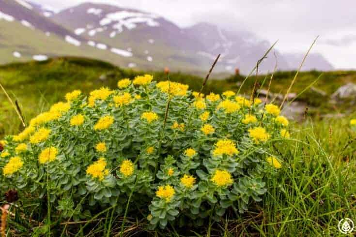 rhodiola flowers